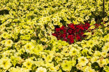 Red petunia photo
