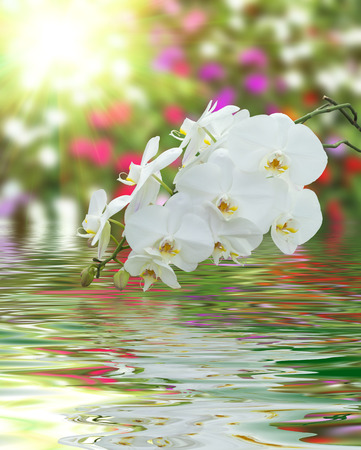 rippled: Beautiful White Orchid on surface rippled of water and blur nature background