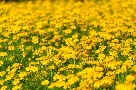 yellow daisy: Field of  Beautiful Yellow Daisies Flowers
