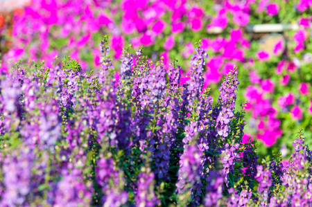 fragrant bouquet: Violet lavender flowers in the field