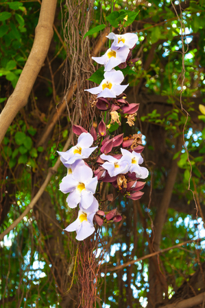dafne: Beauty of White Daphne tangutica on Banyan tree