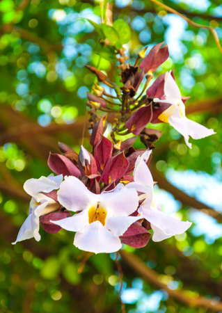 dafne: Beauty of White Daphne tangutica on Banyan tree