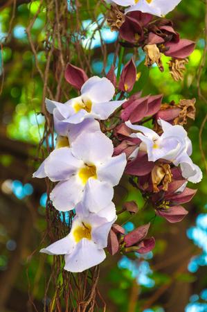dafne: Bellezza di White Daphne tangutica sull'albero Banyan