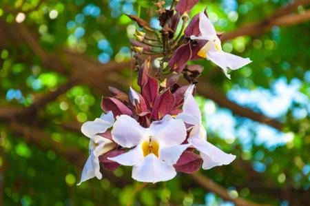 daphne: Beauty of White Daphne tangutica on Banyan tree