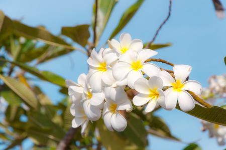 Beauty of White Plumeria Pudica flora in nature background Stock Photo
