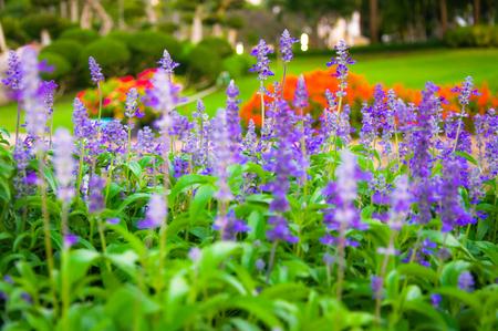 Fresh Lavender Botanical flowers in Garden