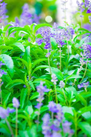 treatment plant: Fresh Lavender Botanical flowers in Garden