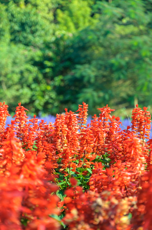 Field of Beauty Salvia Plant Floral Stock Photo