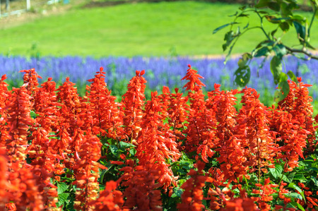 Field of Beauty Salvia Plant Floral 写真素材
