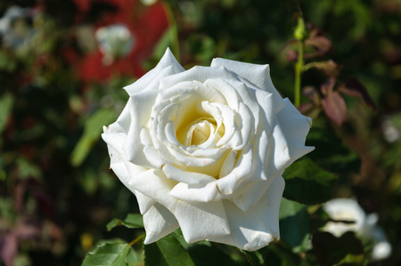 Beauty White Rose and nature background
