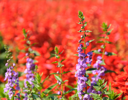 Violet lavender flowers in the field