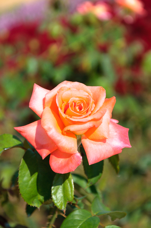 Beauty Rose and nature background
