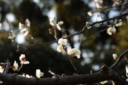 plum flower: White plum flower in early spring in Japan Stock Photo