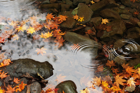 koyo: Maple leaves in the river during autumn foliage in Japan