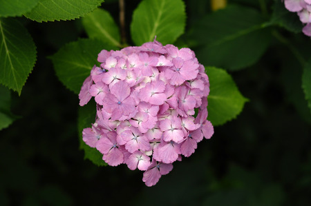 rain japan: Pink hydrangea after the rain in June in Japan Stock Photo