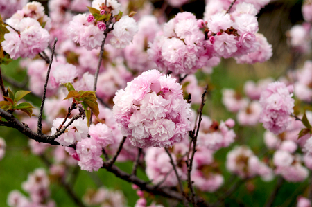 april flowers: Japanese double cherry blossoms in spring