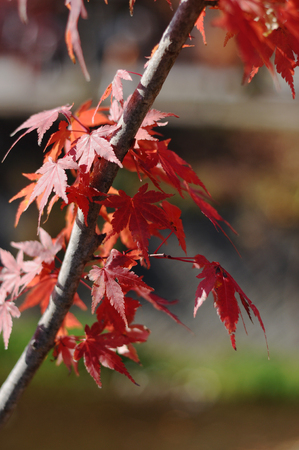 koyo: Red maple leaves during autumn foliage in Japan