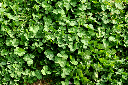 clovers: Four-leaf clover in clovers Stock Photo