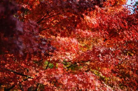 koyo: Red maple tree during autumn foliage in Japan