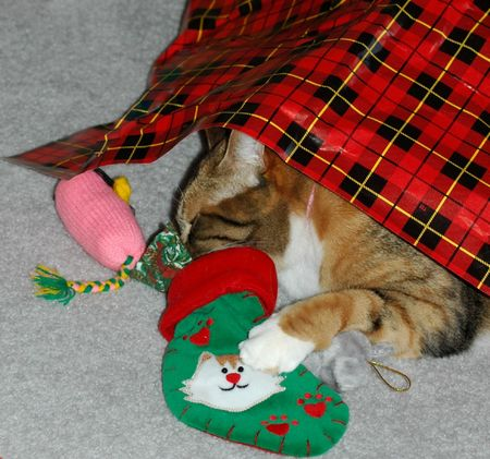 Cat under Christmas paper wrapping has head in Christmas Stocking