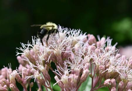 Bee collecting pollen on a milk weed flower. Banco de Imagens