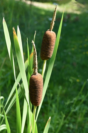 cattails: Cattails Stock Photo