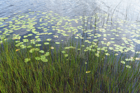 Lily pads and reeds in water Stock Photo