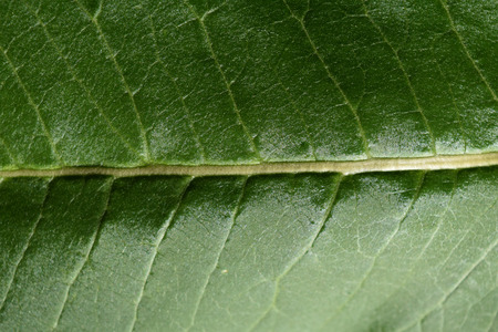 Detail of glossy green leaf
