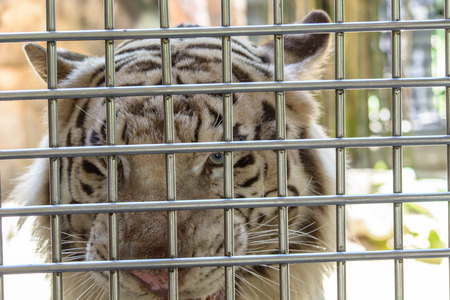 a white tiger in cage photo