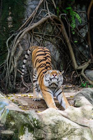 the amur: the Amur tiger stretching out  Stock Photo