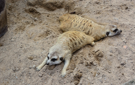 Two meerkat sleeping onthe floor photo