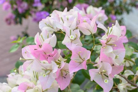 bougainvilleas: paper flower (Bougainvilleas)