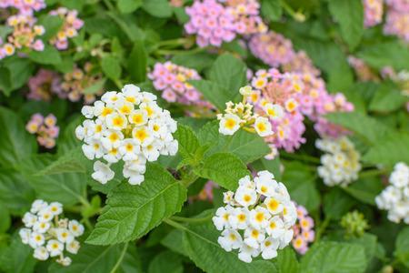 lantana camara: Lantana camara, Linn flowers in garden Stock Photo