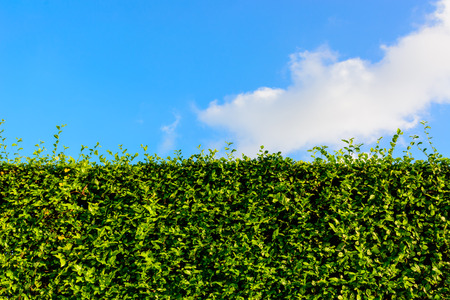 trimmed: Green hedge with blue sky Stock Photo