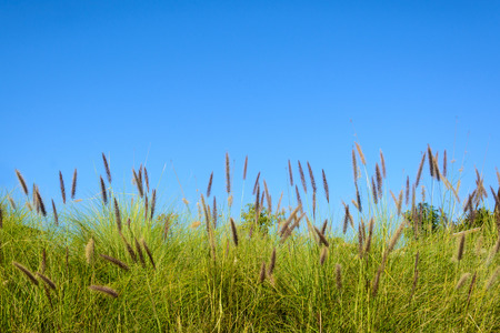 grass flower: Grass flower with blue sky Stock Photo