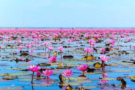 unseen: Sea of pink lotus in Udon Thani, Thailand (unseen in Thailand) Stock Photo