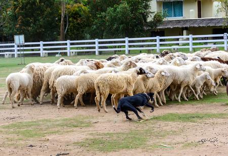Sheep dog run herding sheeps in the farm