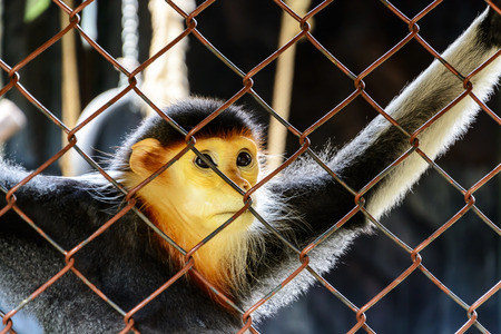 cage gorilla: red-shanked Douc Langur in cage at zoo