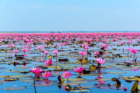 nymphaeaceae: Sea of pink lotus in Udon Thani, Thailand (unseen in Thailand) Stock Photo