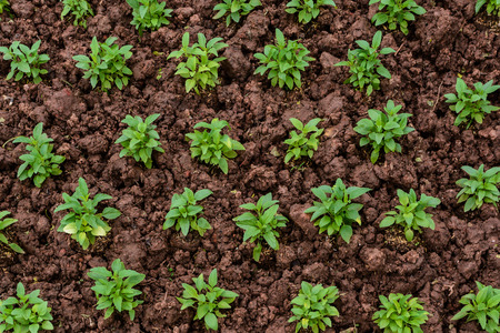 seed bed: Young plants seedlings in soil, Top view Stock Photo