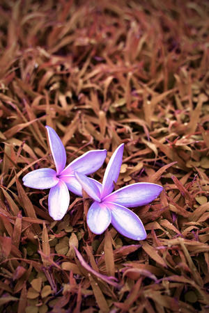 red grass: purple Plumeria flower on red grass Stock Photo