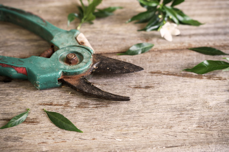 pruning shears: Old rusty pruning shears with leaves on wooden table
