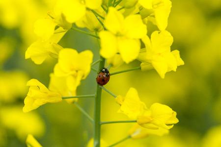 Ein Marienkäfer auf einer Rapsblüte