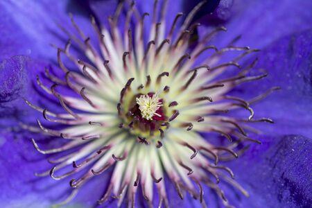 Beautiful macro on a purple clematis 版權商用圖片