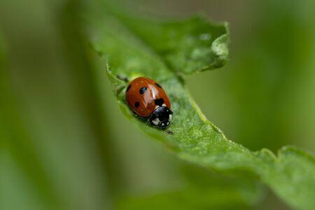 Beautiful lady bug on green leaf 版權商用圖片