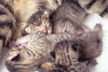 Newborn, adorable kittens suckling, playing and sleeping in their mother cat's fur Standard-Bild