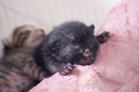 Newborn, adorable kittens suckling, playing and sleeping in their mother cat's fur 版權商用圖片