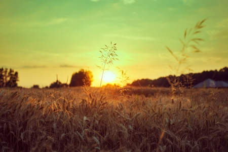 A wheat field at sunset