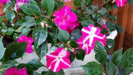 flowers balsam impatiens in the garden