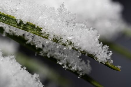 Spruce needles covered in the evening in a winter park macro photography Zdjęcie Seryjne
